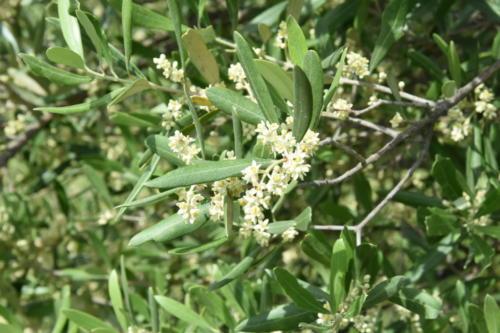 fleurs oliviers