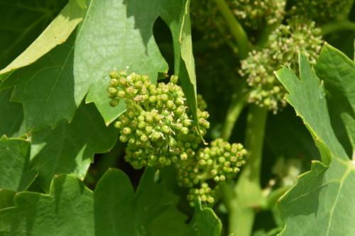 vigne floraison